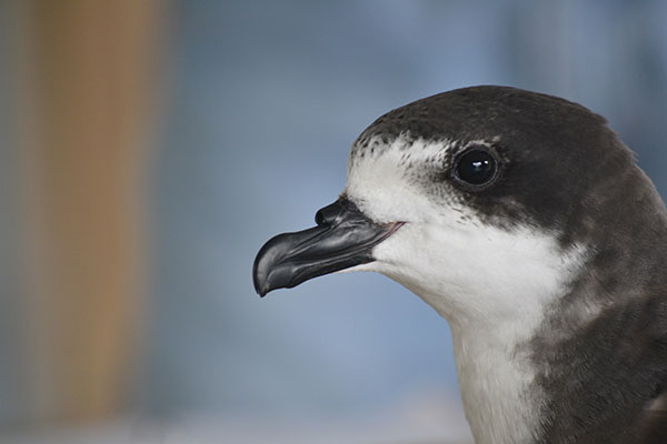 Closeup of an 'ua'u, Hawaiian petrel