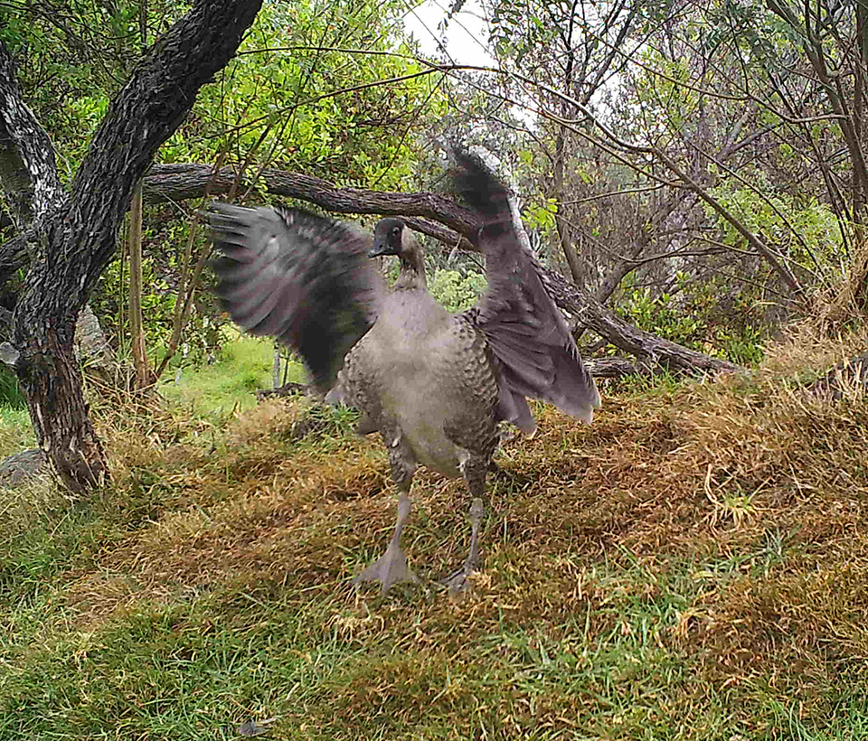 Young nēnē tests its wings
