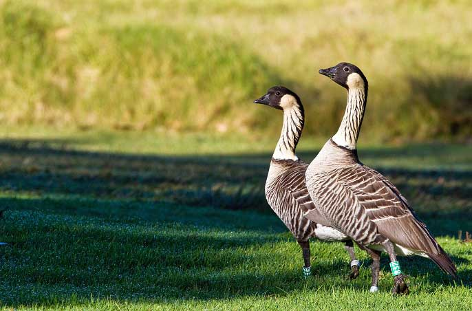 nēnē pair on the grass
