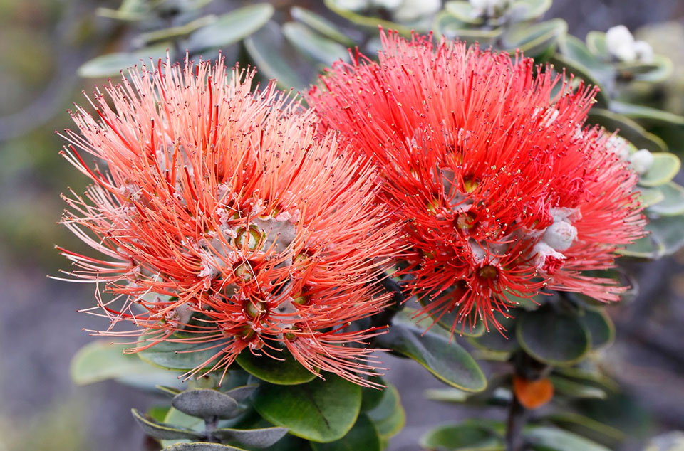 Red and orange lehua blossom on an 'ōhi'a tree in the Kahuku Unit