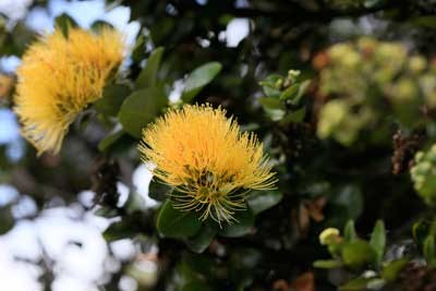The uncommon yellow 'ōhi'a lehua blooming in Kahuku