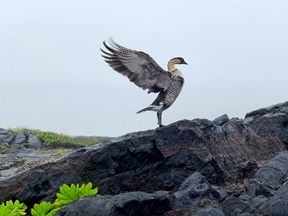 A nēnē streches its wings on hard black lava