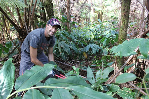 NPS Volunteer Marius Arigot removing invasive Himalayan ginger during a Stewardship at the Summit program