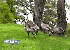 Devoted parents lead their brood to the 1st fairway at Volcano Golf and Country Club.