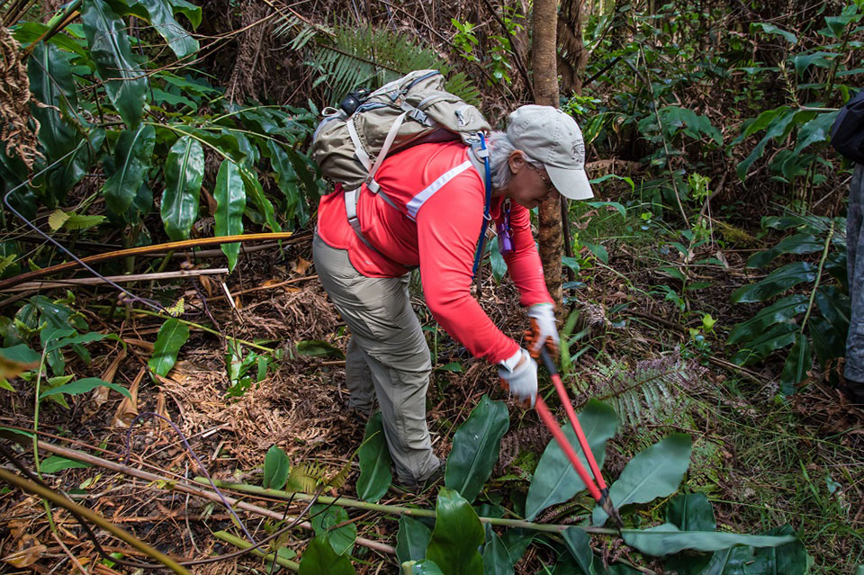Restoring Native Forest in Hawai'i Volcanoes National Park