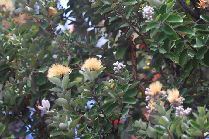 Yellow 'ōhi'a lehua in bloom