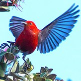 A red bird with dark wings flies from a tree