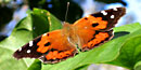 The Kamehameha Butterfly is orange and black, with white spots.