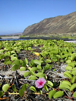 Seaside morning-glory or pohuehue is a purple flowering woody vine.