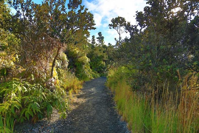 Well worn path with native ohia trees