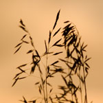 Seed heads of prairie grasses are silhoutted against a dawn sky.