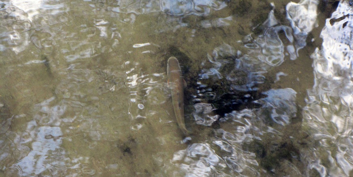 A foot-long fish with reddish fins spotted in a shallow creek from above.