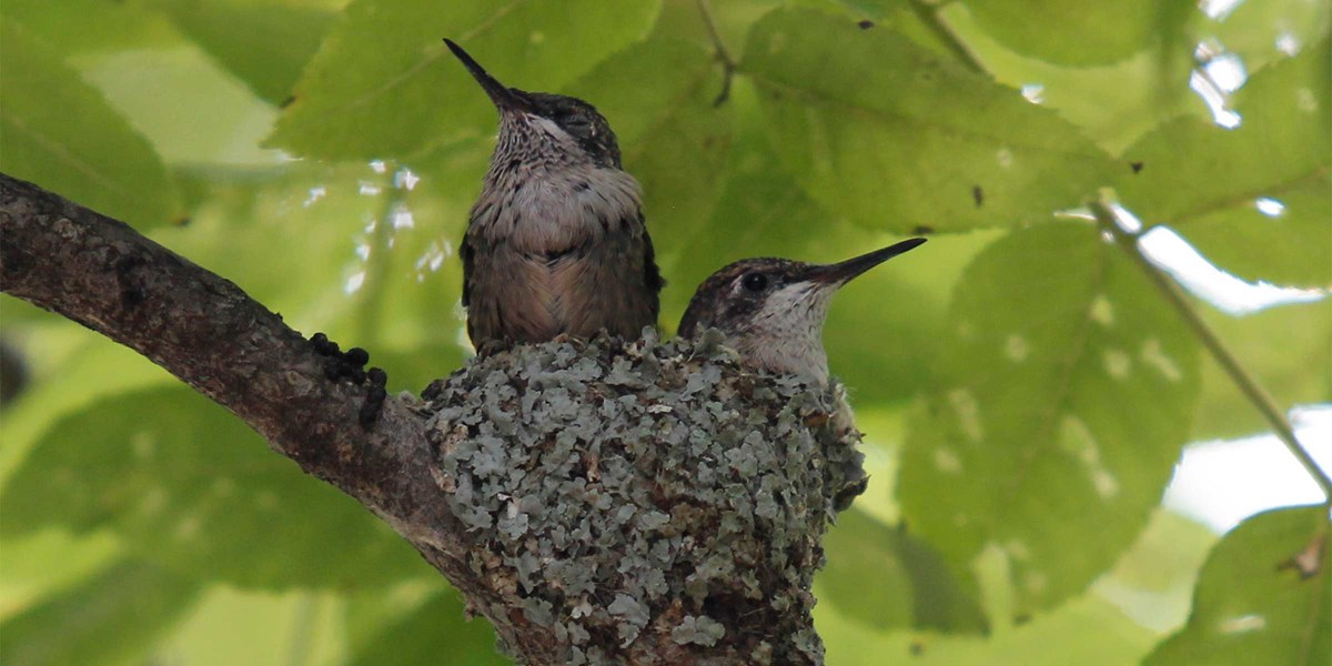 Two hummingbirds perch on their nest in the greenery of a tree.