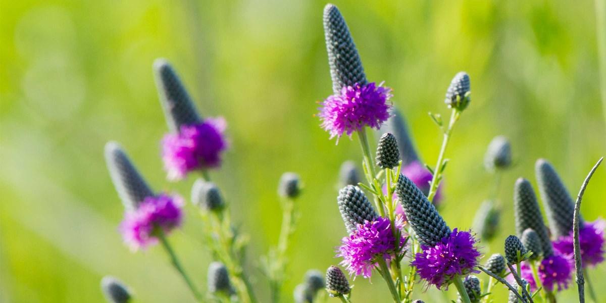 Wildflower List Bloom Times For Herbert Hoover National Historic