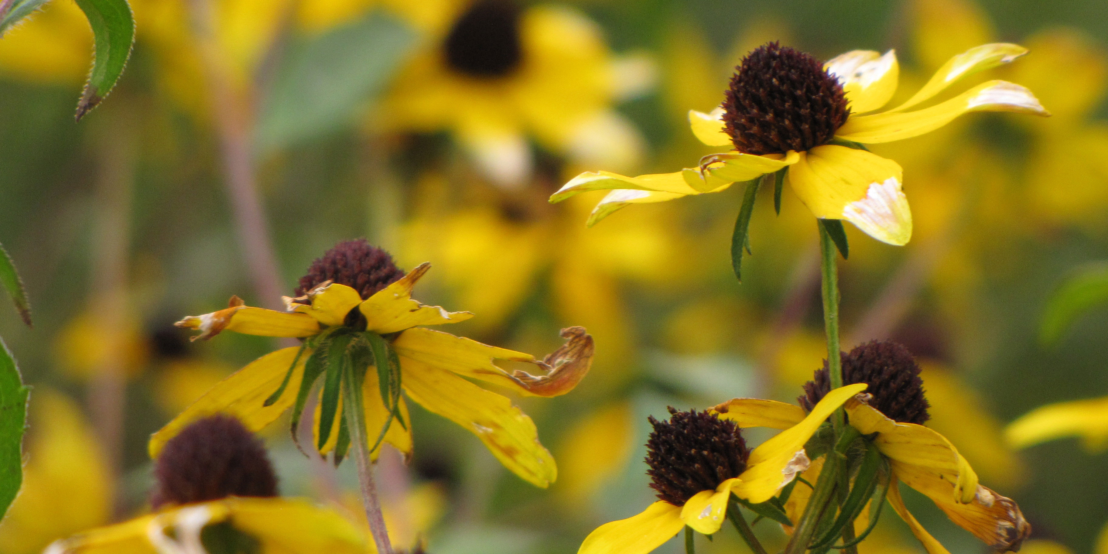 Yellow flowers with prominent brown disks bloom in a green prairie.
