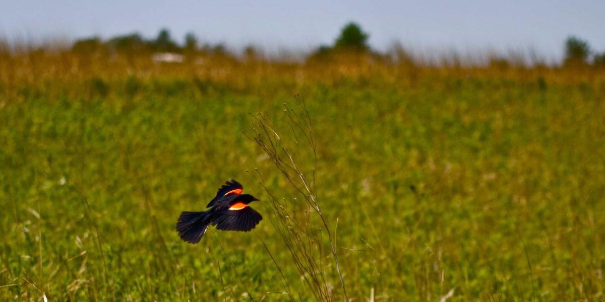 A black bird with red and yellow on its wings flies across and brown and green field.