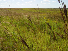 Big bluestem seedheads cured to a dark brown in late summer.