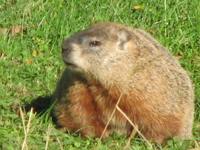 A fat groundhog in the grass.