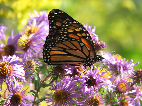 A black and orange butterfly on a cluster of purple asters.