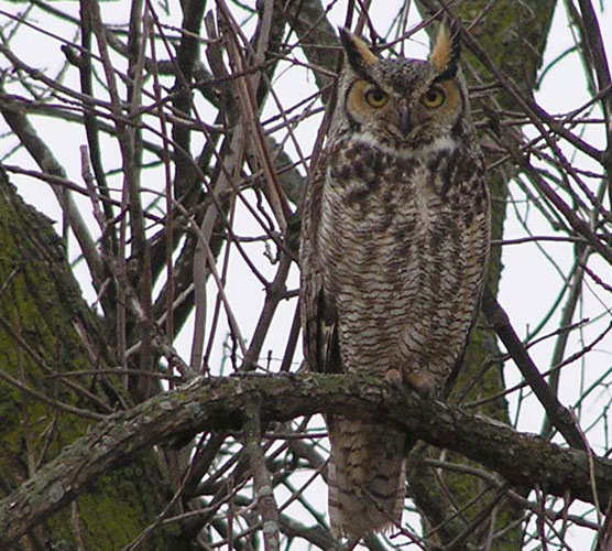 A great horned owl's mottled plumage makes it difficult to see among tree branches in the winter.