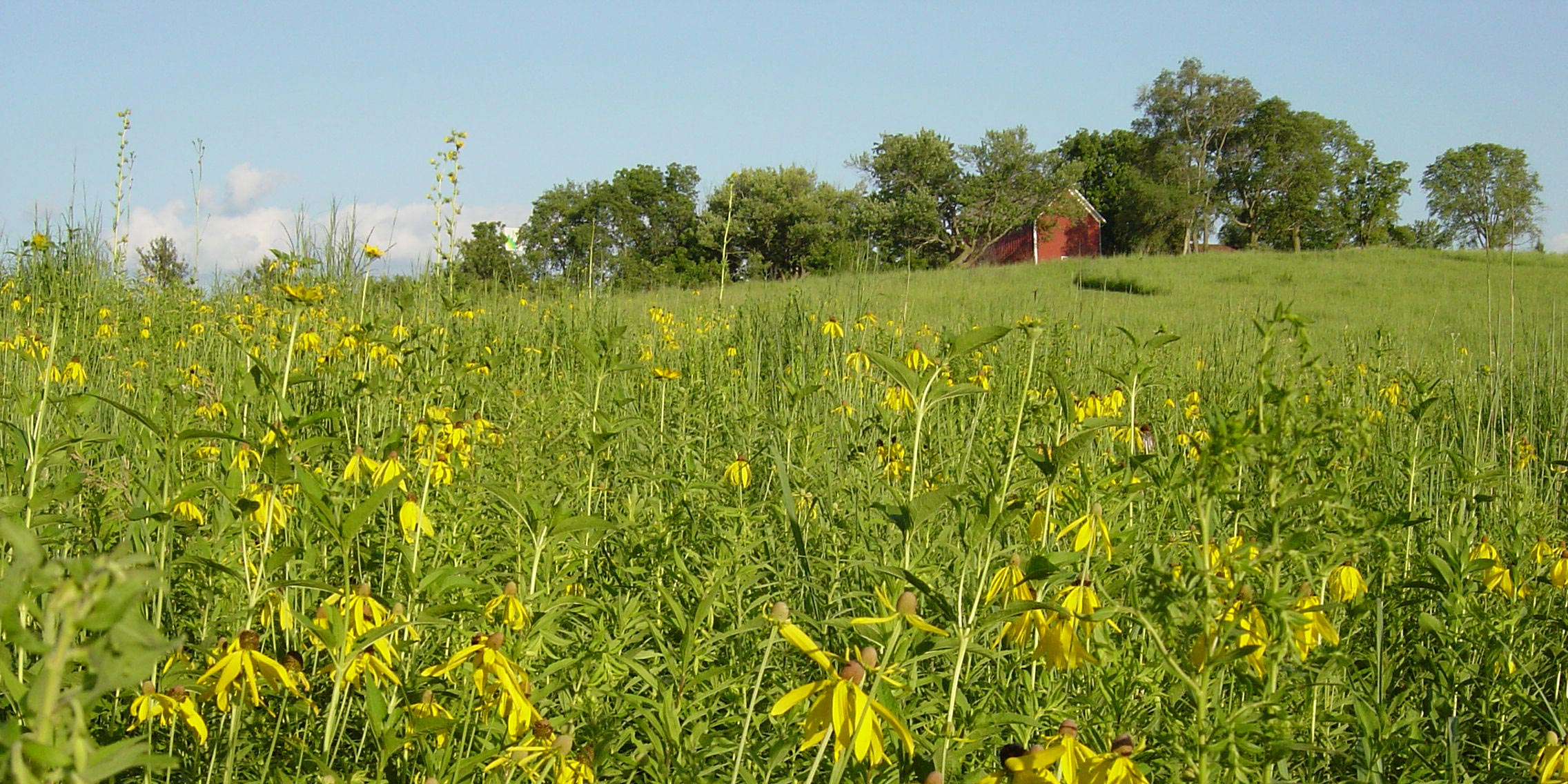 A red barn sits atop a bright green meadow with brilliant yellow flowers.