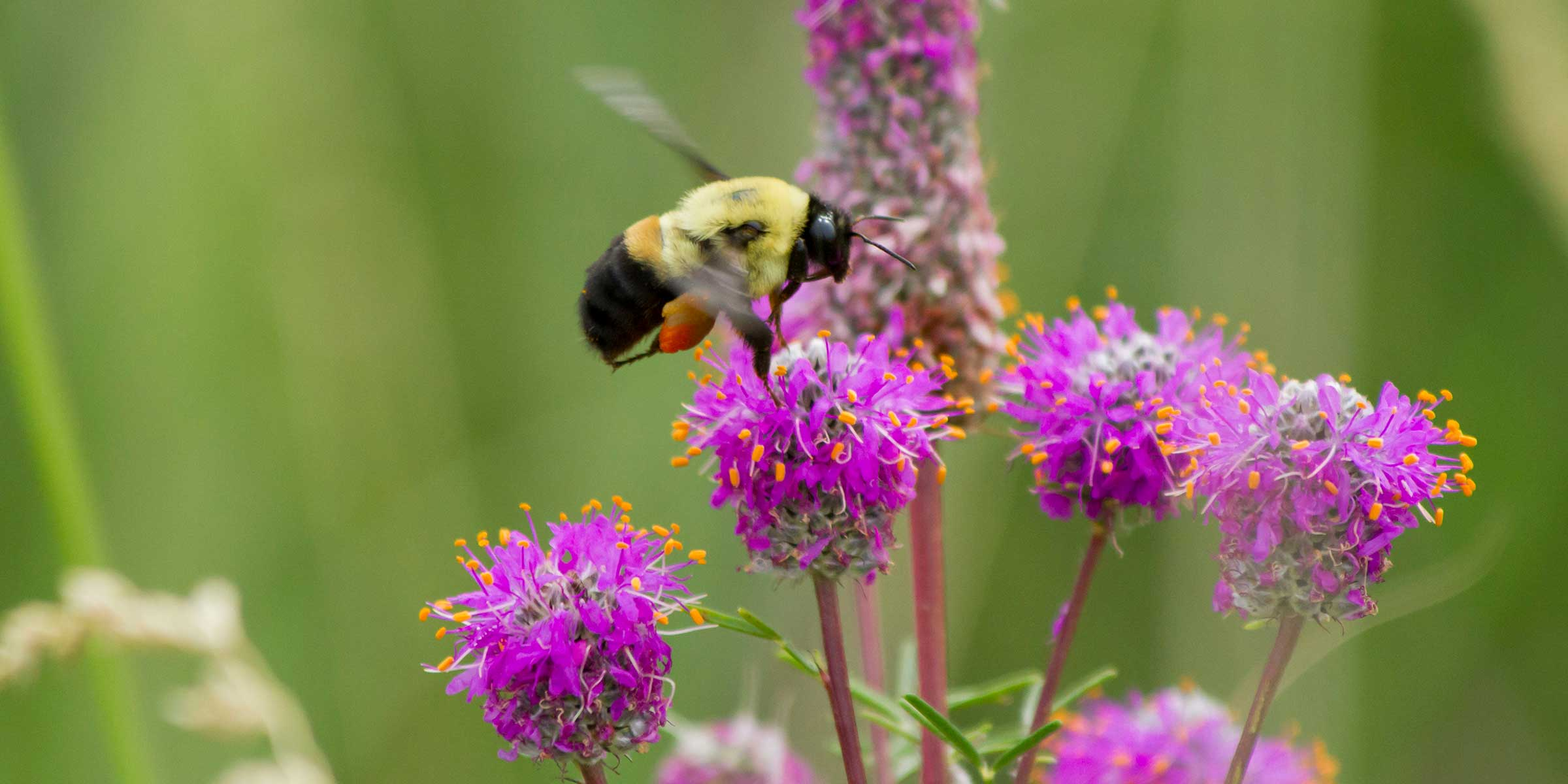 Plan Bee Volunteer Citizen Scientists Can Help Survey Pollinators