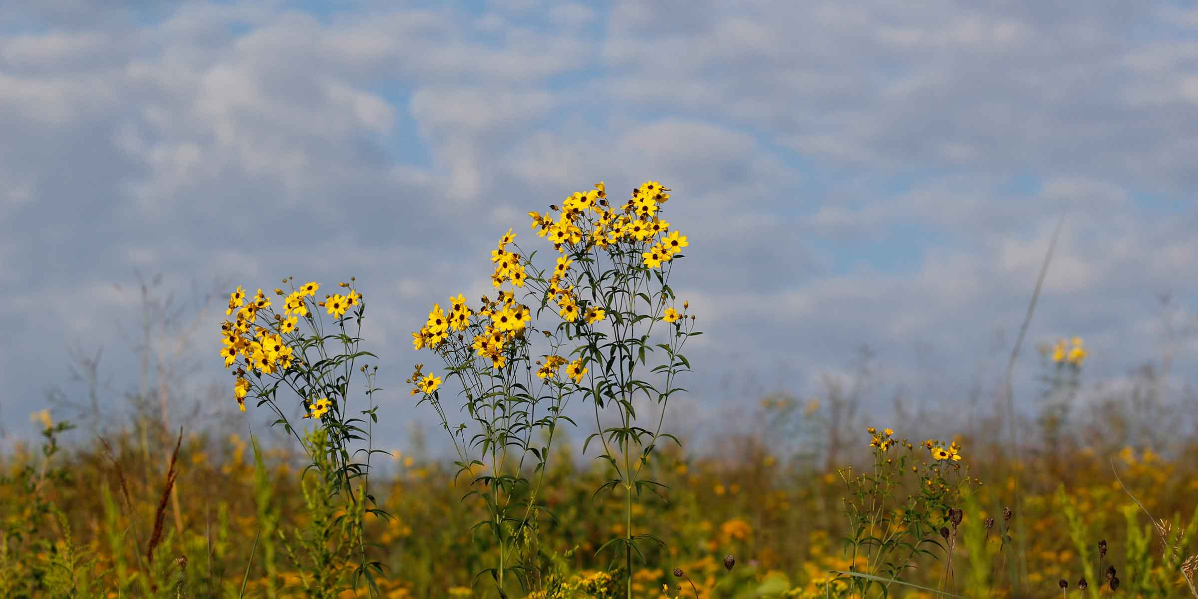 Clusters of daisy-like yellow flowers boom in a grassland.
