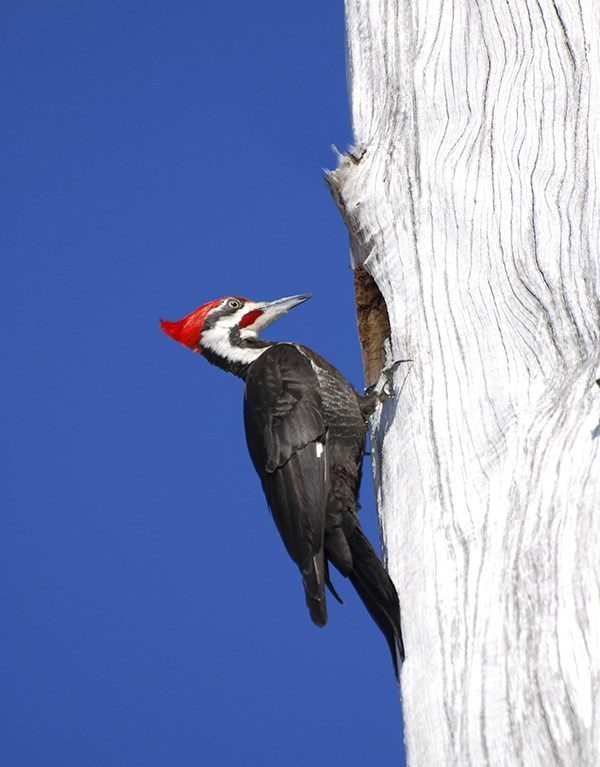 large woodpecker with black white and red colors on side of tree trunk, blue sky background