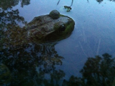 A partially revealed frog peeks its head above water with its eyes protruding up.