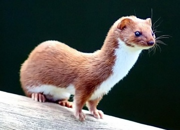 Least weasel, the smallest living carnivore.