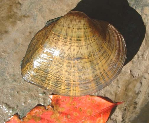 A closed mussel shell with dark stripe horizontal patterns on its brown shell