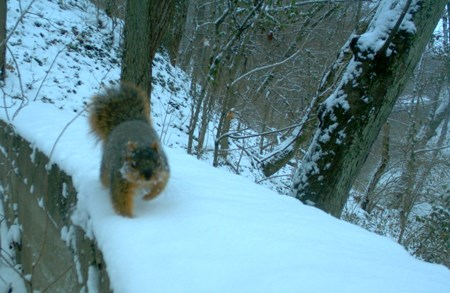 A squirrel trudges through the white snow on top of a wall