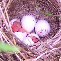 Field sparrow eggs and chicks hatching at Seip Earthworks.