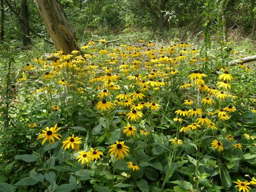 Rudbeckia hirta (black-eyed susan) in full-bloom at Mound City Group