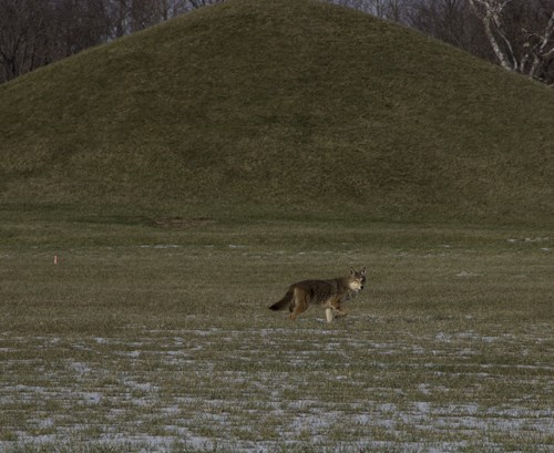 A large grey and brown coyote strolls in the snow-covered grass in front of a large earthen mound.