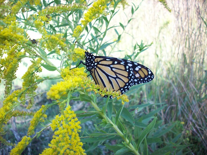 A monarch butterfly at rest.
