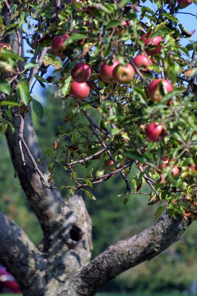 Apples hang from tree.