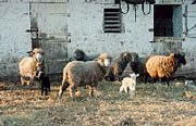 Sheep and lambs standing in the barnyard