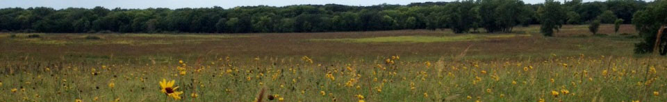 Sunflowers abloom on the prairie.