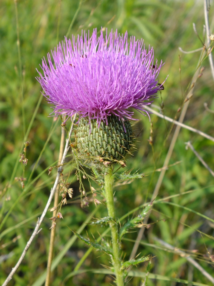 Pink Native Thistle Photo - National Geographic Kids My Shot