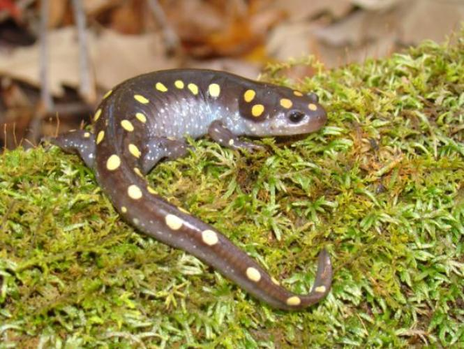 Spotted salamander on mossy log.