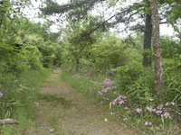 trail scene with grass on sides of trail, also pink wild phlox on right with pine tree