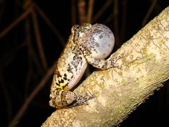 Frog sitting on branch with inflated vocal sac.