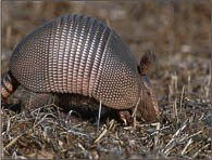 Armadillo rooting through field.