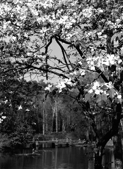 Black and white photo with dogwood flowers on branches filling the upper half of the picture, looking across a pond to a bridge; there's a hill behind the bridge.