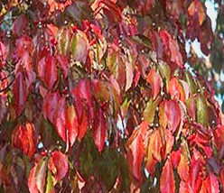 color photo of closeup of branch of flowering dogwood leaves in fall color of bright red with some still showing tinges of green