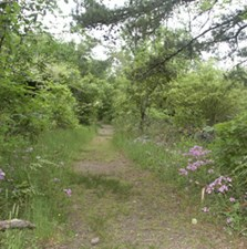 photo of Goat Rock Trail in April, with wild phlox blooming on right side and lots of green along trail