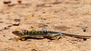 a lizard with greenish tail, yellow head, and dark blotches crawls low on the ground