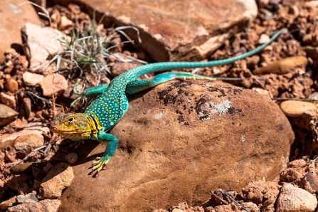 Close-up of a collared lizard, a lizard with a yellow head and turquoise body and tail
