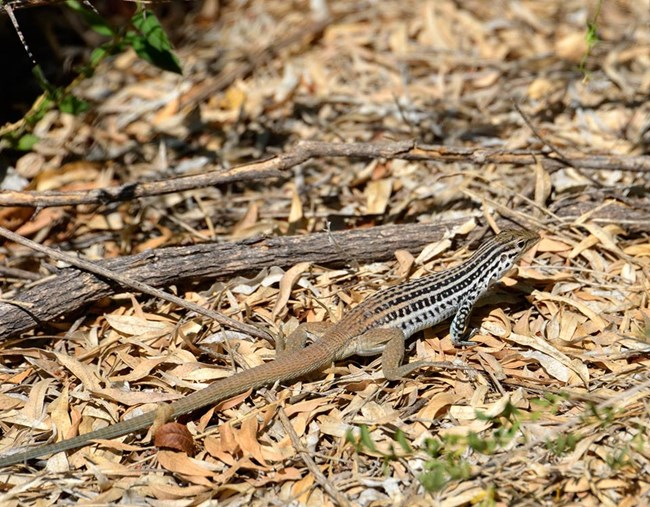 close-up of a whiptail lizard, a long-tailed lizard with vertical, black stripe markings on its body